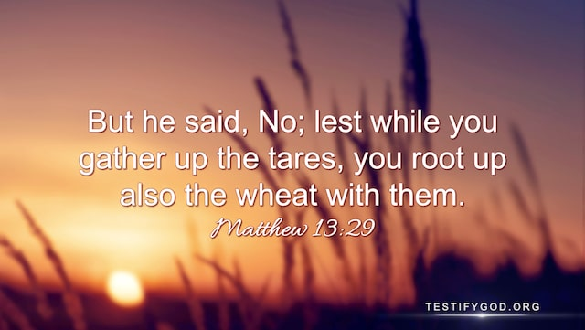 "Matthew 13:29 ""But he said, No; lest while you gather up the tares, you root up also the wheat with them."""